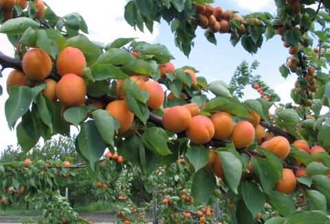 ovoce-01-merunky.jpg