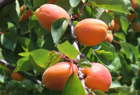 ovoce-02-merunky.jpg
