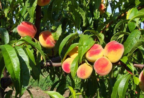 ovoce-09-broskve.jpg