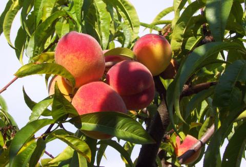 ovoce-10-broskve.jpg