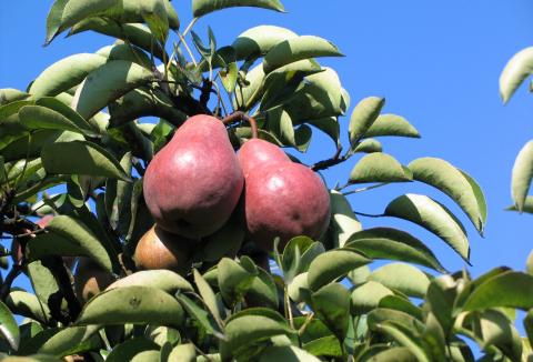 ovoce-12-hrusky.jpg