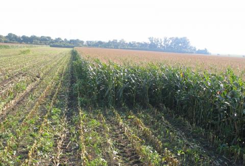 rostlinna-vyroba-04-seceni-kukurice.jpg